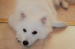 Our Japanese Spitz